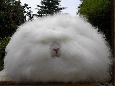 angora_rabbit-00-tm